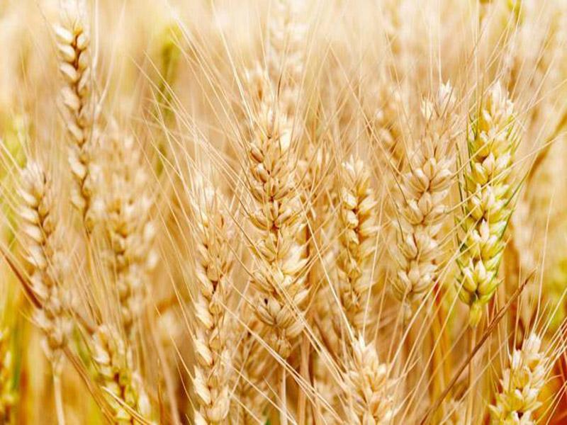 冬小麦后期管理问题及其收割时间
